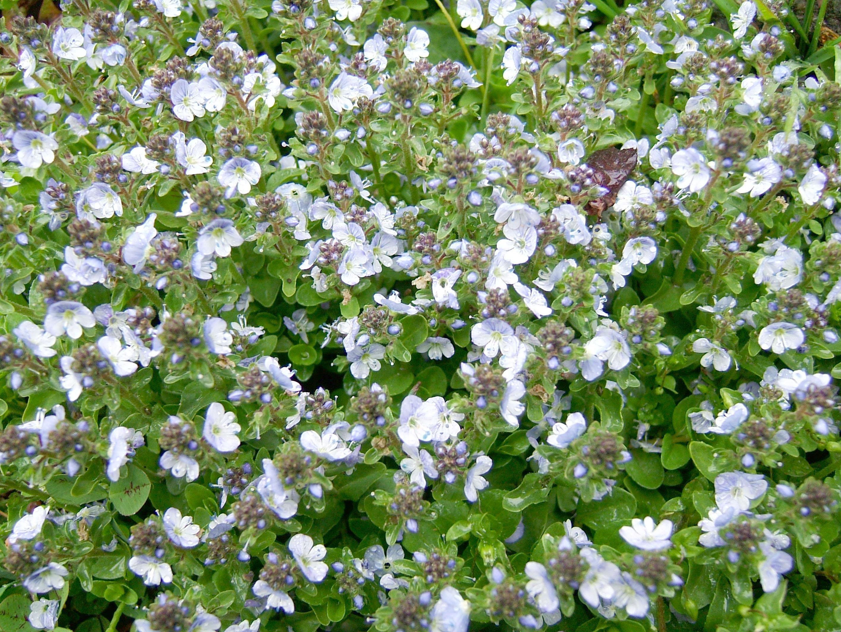 Local Wild spring flowers Srinagar Kashmir India 16