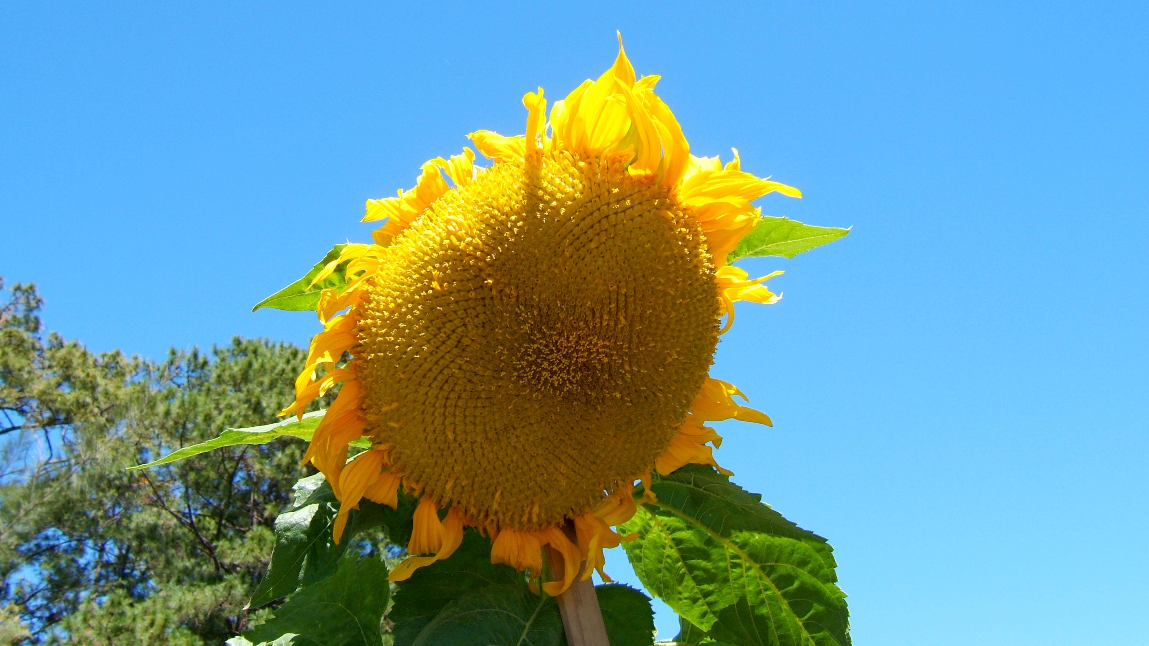 Philippines Baguio Sunflower 01
