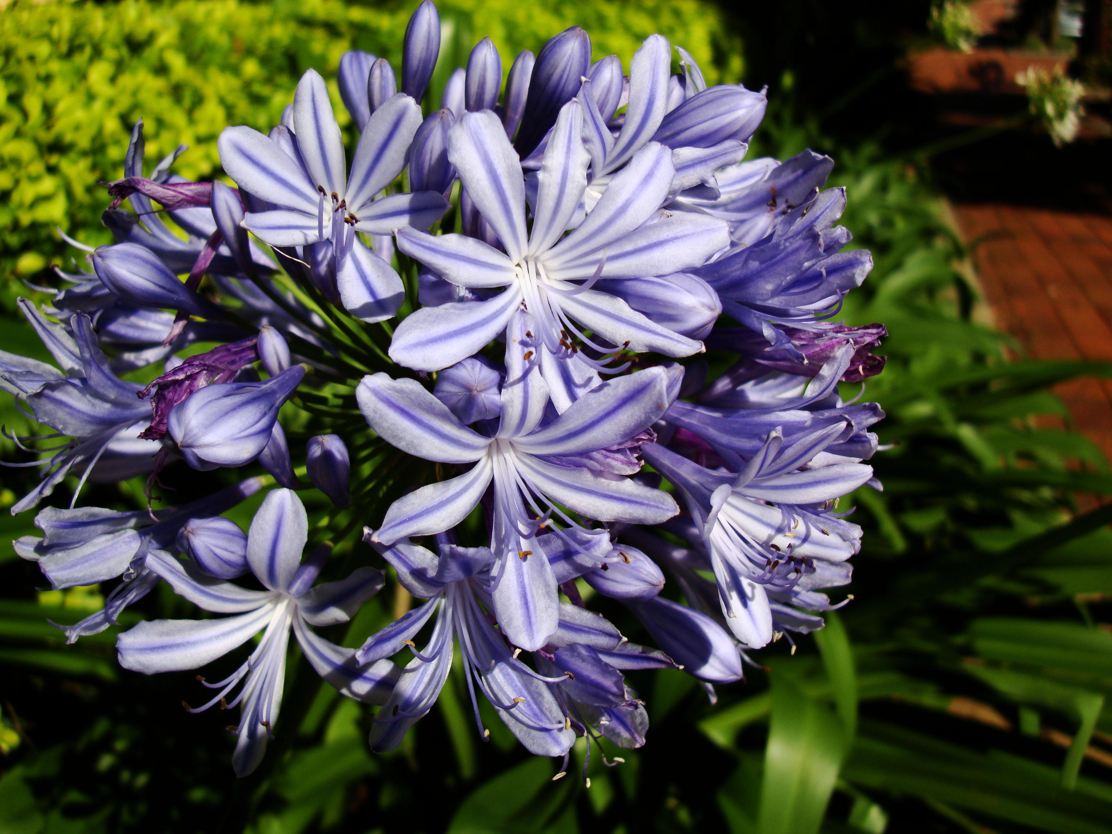 Asisbiz Spring Flowers Malaney Queensland Australia 17