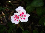 Asisbiz Flowers Australia Malaney 03