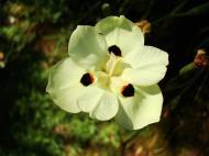 Asisbiz Flowers Australia Malaney 06
