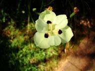 Asisbiz Flowers Australia Malaney 07