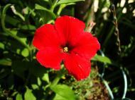Asisbiz Flowers Australia Malaney 11