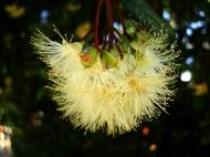 Asisbiz Flowers Australia Malaney 13