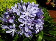 Asisbiz Flowers Australia Malaney 17