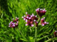 Asisbiz Flowers Australia Malaney 19