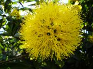 Asisbiz Flowers Australian Native 01