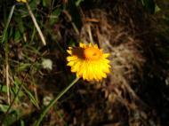 Asisbiz Flowers Noosa National Park 03