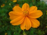 Asisbiz Flowers Philippines 009