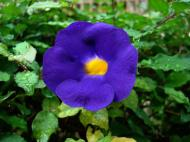 Asisbiz Flowers Philippines 021