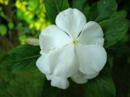 Asisbiz Flowers Philippines 038