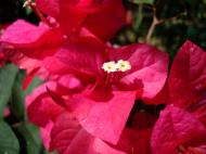 Asisbiz Flowers Philippines 062