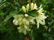 Asisbiz Flowers Philippines 070