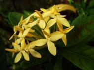 Asisbiz Flowers Philippines 086