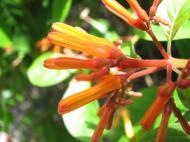 Asisbiz Flowers Philippines 098