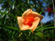 Asisbiz Flowers Philippines Orange Bell 02
