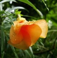 Asisbiz Flowers Philippines Orange Bell 04