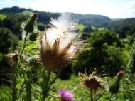 Asisbiz Flowers Scotish Thistle Malaney 01