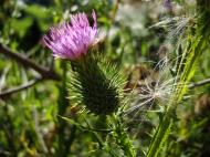 Asisbiz Flowers Scotish Thistle Malaney 02