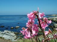 Asisbiz Flowers USA California Monterey Carmel 02