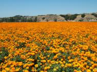 Asisbiz Flowers USA California Solvang Farms 01