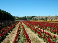 Asisbiz Flowers USA California Solvang Farms 04