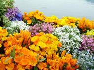 Asisbiz India Kashmir Srinagar Wild Flowers 01
