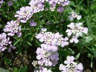 Asisbiz India Kashmir Srinagar Wild Flowers 03