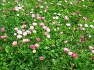 Asisbiz India Kashmir Srinagar Wild Flowers 04