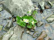 Asisbiz India Kashmir Srinagar Wild Flowers 05