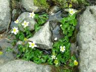 Asisbiz India Kashmir Srinagar Wild Flowers 06