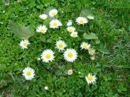 Asisbiz India Kashmir Srinagar Wild Flowers 08