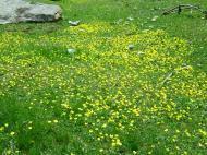 Asisbiz India Kashmir Srinagar Wild Flowers 13