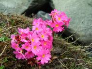 Asisbiz India Kashmir Srinagar Wild Flowers 15