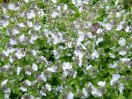 Asisbiz India Kashmir Srinagar Wild Flowers 16
