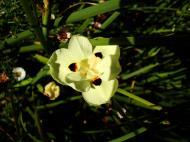 Asisbiz Spring flowers Malaney Queensland Australia 05