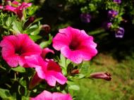 Asisbiz Spring flowers Malaney Queensland Australia 09