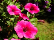 Asisbiz Spring flowers Malaney Queensland Australia 10
