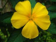 Asisbiz Tropical garden flowers Ayala Alabang Manila Philippines 03