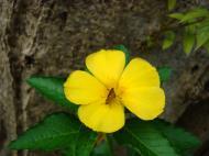 Asisbiz Tropical garden flowers Ayala Alabang Manila Philippines 06