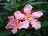 Asisbiz Tropical garden flowers Ayala Alabang Manila Philippines 11