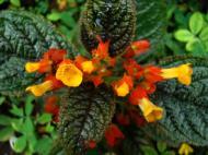 Asisbiz Tropical garden flowers Ayala Alabang Manila Philippines 13