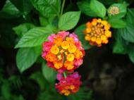 Asisbiz Tropical garden flowers Ayala Alabang Manila Philippines 14