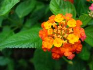 Asisbiz Tropical garden flowers Ayala Alabang Manila Philippines 15