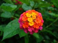 Asisbiz Tropical garden flowers Ayala Alabang Manila Philippines 16