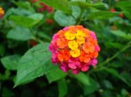 Asisbiz Tropical garden flowers Ayala Alabang Manila Philippines 17