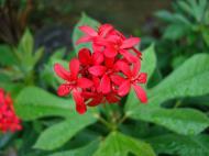 Asisbiz Tropical garden flowers Ayala Alabang Manila Philippines 18