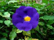 Asisbiz Tropical garden flowers Ayala Alabang Manila Philippines 20