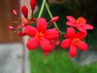 Asisbiz Tropical garden flowers Ayala Alabang Manila Philippines 25