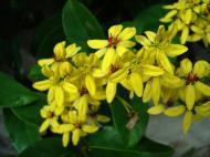 Asisbiz Tropical garden flowers Ayala Alabang Manila Philippines 26